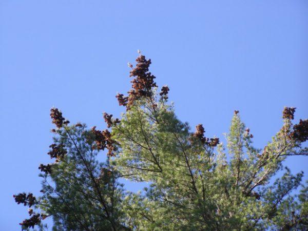An evergreen tree